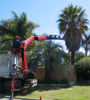 Palms Ground Clean Safe Palm Tree Removal Perth Trees Thirsty